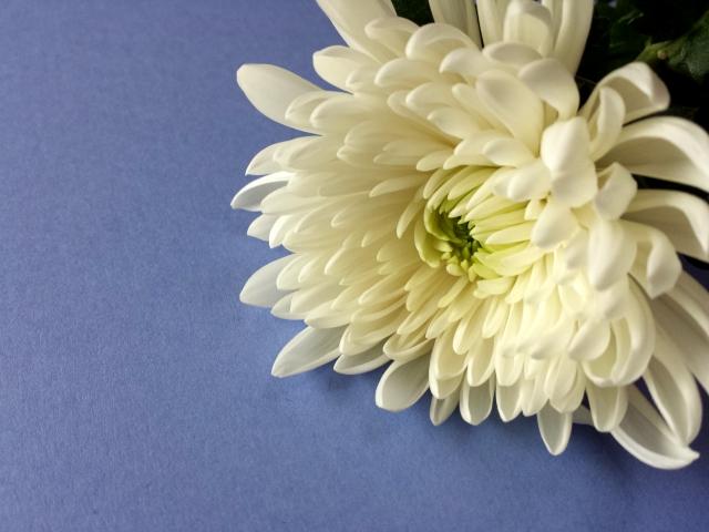 喪中のイメージの花菊