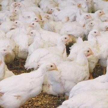 El uso de antibióticos en la avicultura: tendencias y futuro