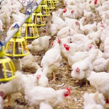 Aditivos fitogenéticos en la nutrición avícola