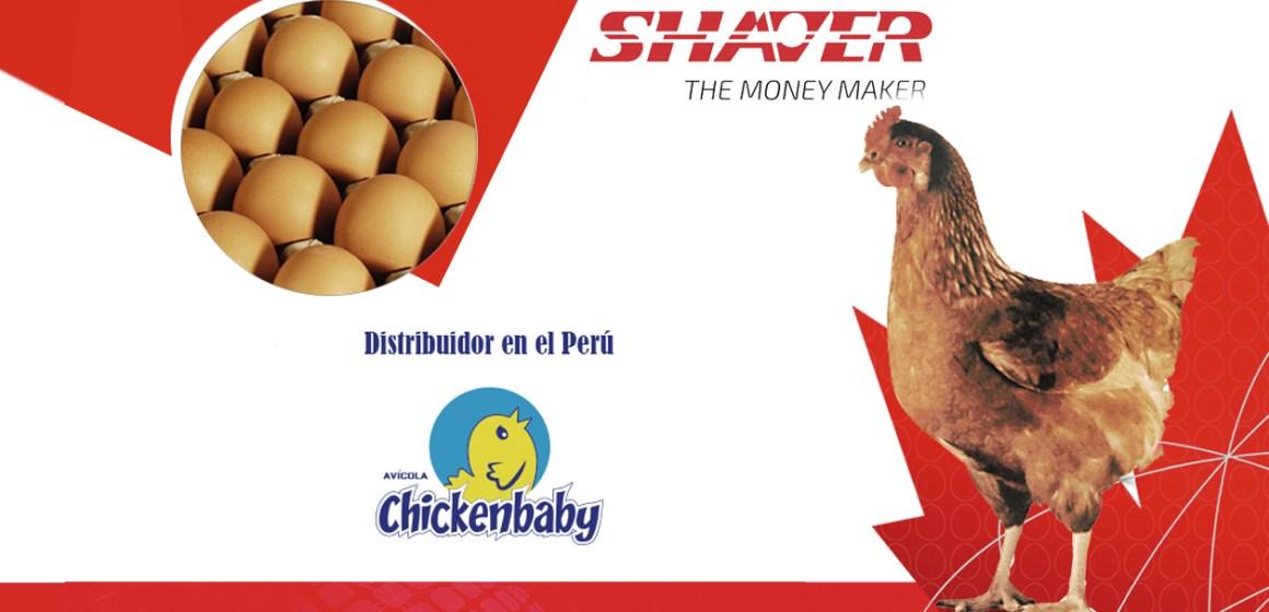 Chickenbaby anuncia distribución de ponedoras Shaver Brown
