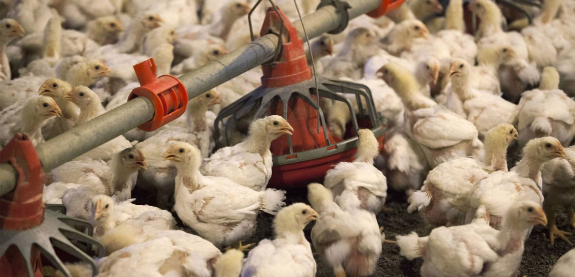 Menos producción de cerdo, obligará a China a importar 70% más carne de pollo