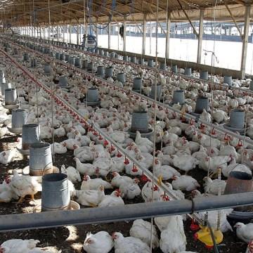 Factores que afectan el aprovechamiento de nutrientes en pollos de engorde (Parte I)