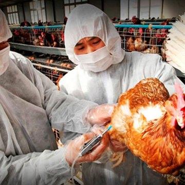 La edición genética podría crear pollos resistentes a la gripe aviar