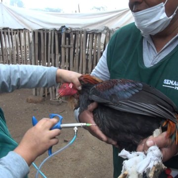 Lima: Se creó comité zonal para erradicar enfermedad de Newcastle