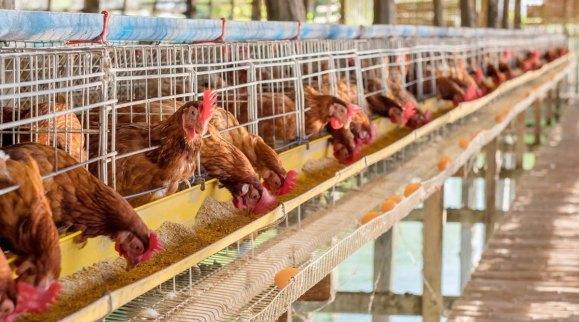 Herramientas actuales para la modulación del ecosistema intestinal en aves comerciales (parte I)