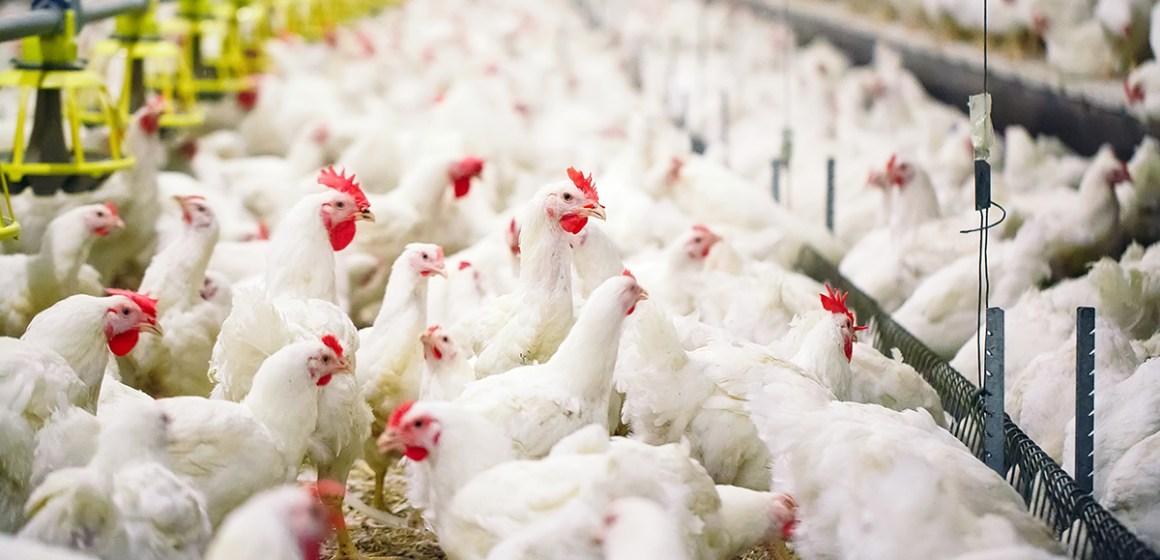 Estados Unidos destina US$45 millones adicionales para combatir Newcastle aviar