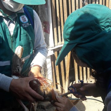 Senasa vacunó más de 29 mil aves contra Newcastle en Apurímac