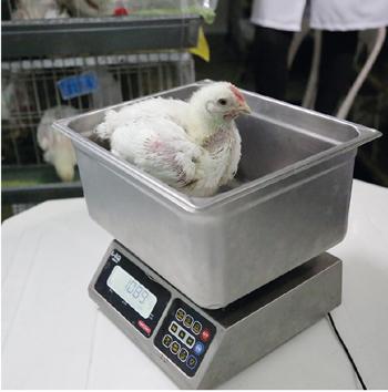 pollo en balanza