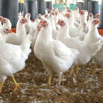 UE destinará 32 millones de euros para granjas afectadas por la gripe aviar