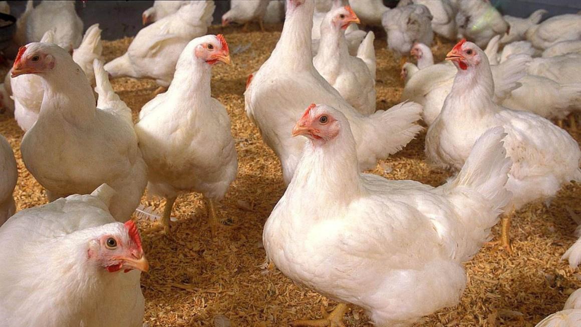 Industria avícola argentina reclama falta de transparencia