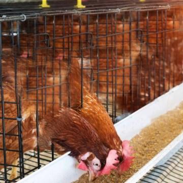 Alimento de pollo creció un 2,6% en Brasil