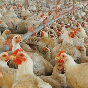 Algunas reflexiones sobre el empleo del butirato y otros aditivos en el engorde de pollos