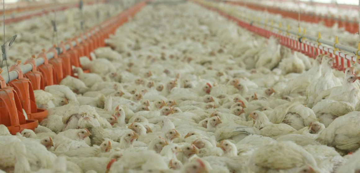 Pérdida masiva avícola tras paro en Ecuador