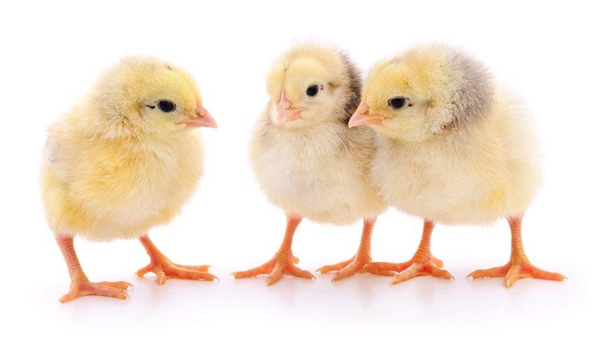 ICC Brazil presenta tres soluciones para aves en OVUM 2019
