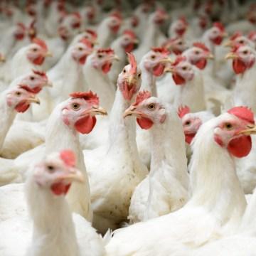 Argentina publica normas para importación avícola