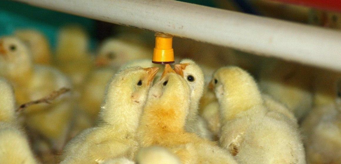 La producción de pollo alcanzó los 590 millones 782 mil unidades