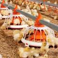 Efecto de la dieta sobre la flora microbiana en el tracto gastrointestinal del ave