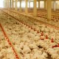 Síndromes metabólicos en pollos de engorde (Parte I)