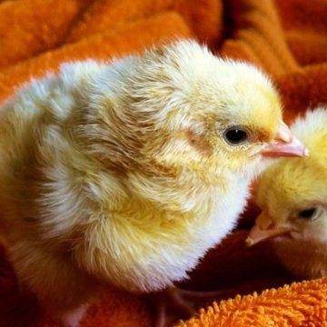 Reparten 2 mil pollos para combatir adicción al celular