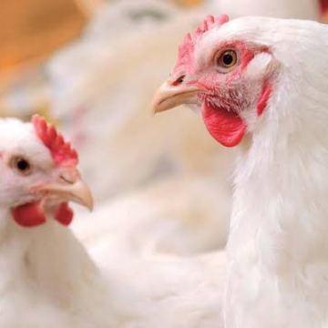 Minagri prohibió el uso de la colistina en pollos