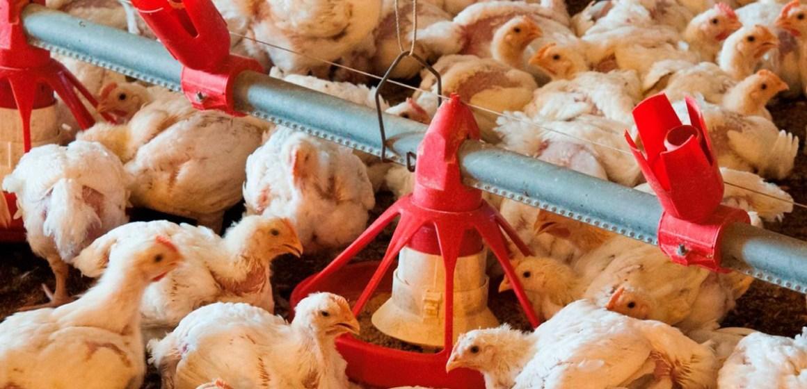 España: Producción de pollo disminuye pese al crecimiento avícola mundial