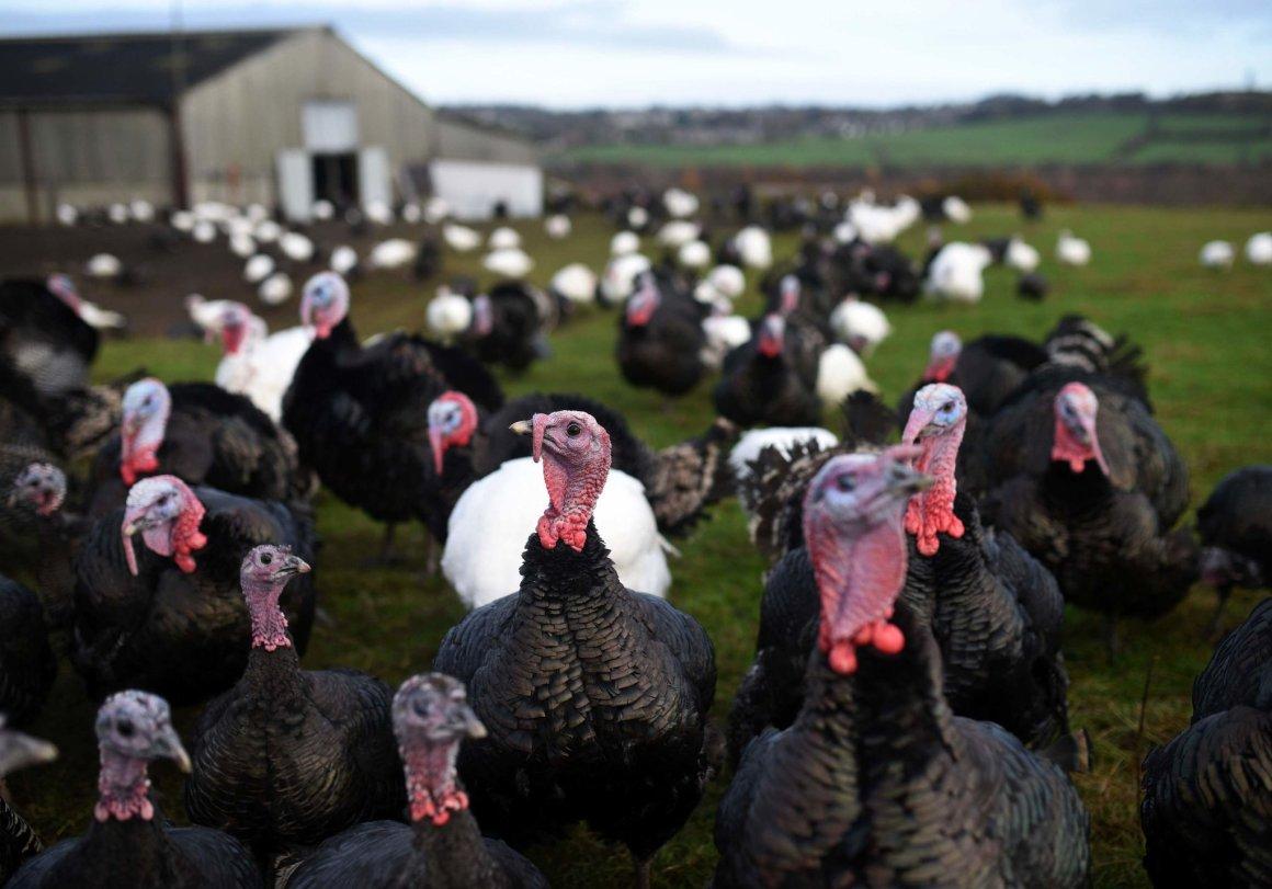 Hungría presenta el virus del H5N8 en más de 53 mil pavos