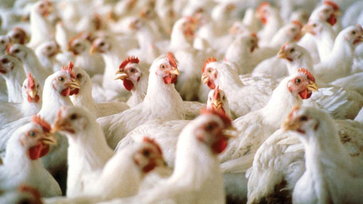 Perú: Minagri informa que el país es libre de Influenza Aviar