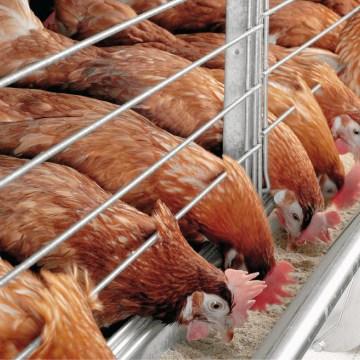 Paraguay: piden intervención contra el contrabando de pollos y huevos
