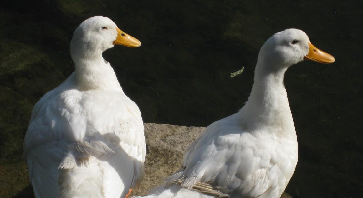 En alerta Bulgaria: la gripe aviar de patos