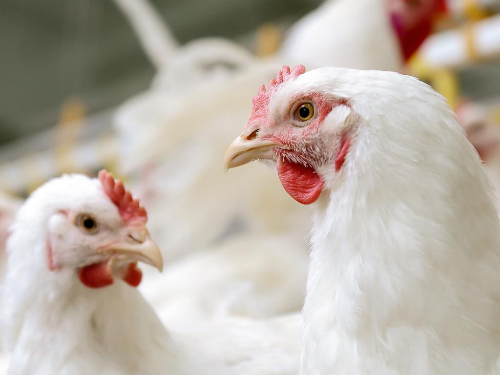 Arabia Saudita: se registra brote de influenza aviar