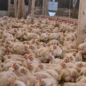 COVID-19: caerá la producción de alimento balanceado para aves en China