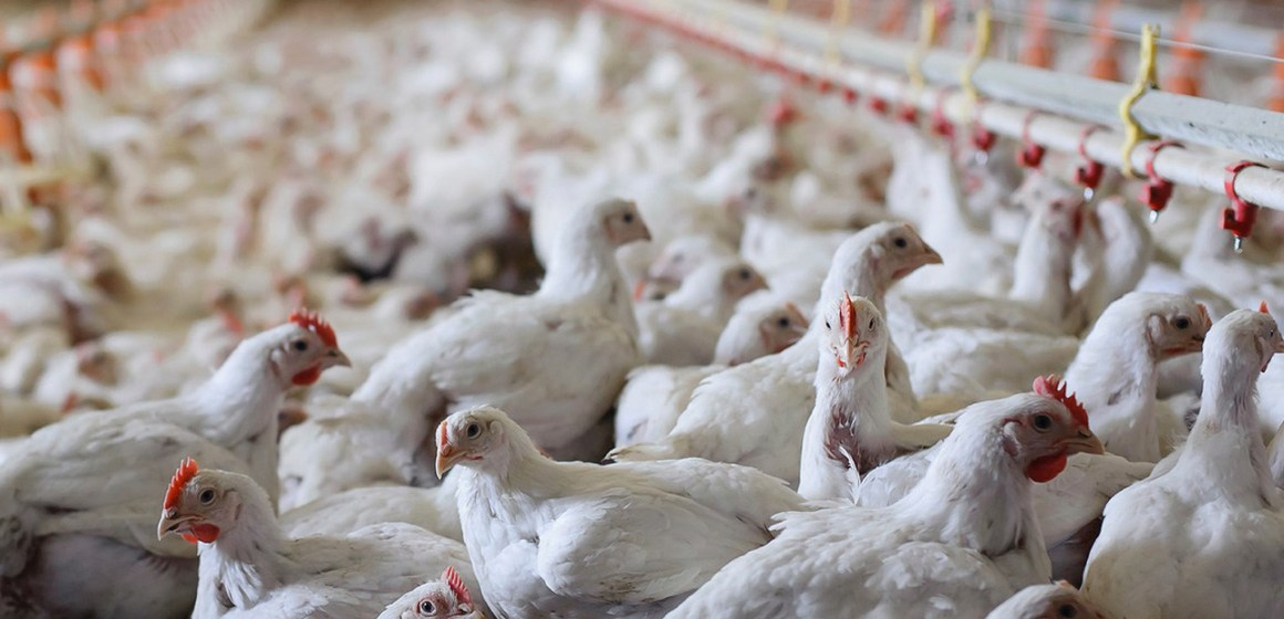 Covid-19: baja el precio del pollo por la cuarentena