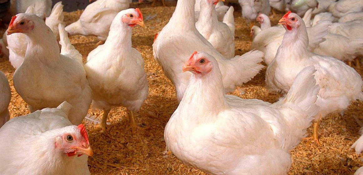 Coronavirus en Perú: Plantean que el Estado compre más pollo