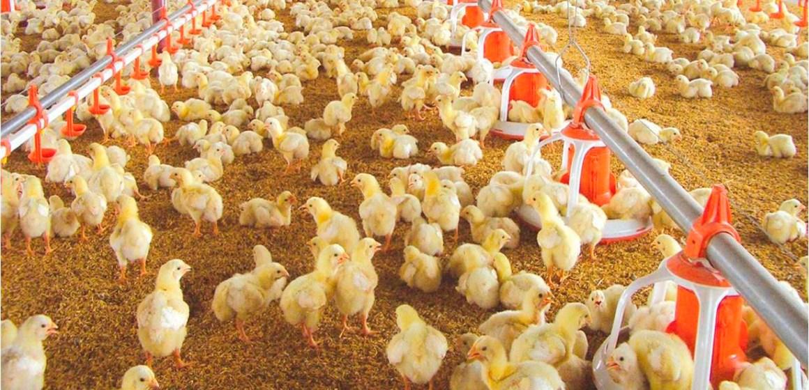 Bolivia: sobre oferta del pollo afecta a los avicultores