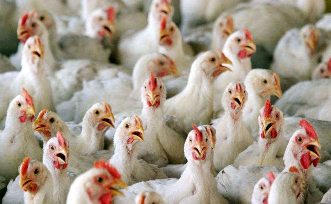 Colombia: preocupación de avicultores por el alza del dólar frente al peso