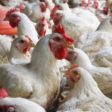 Avicultura china podría reponerse en seis meses del Coronavirus