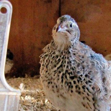 Gripe aviar H5N6 reaparece en Filipinas
