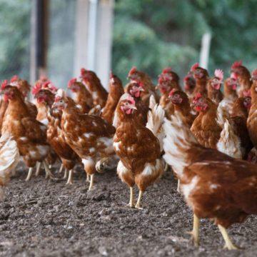 India: sacrificó 175 000 aves de corral que no le compraron por rumores falsos sobre el COVID-19