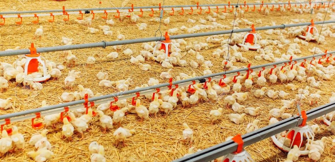 Hoy la venta del pollo vivo en el Perú alcanzó récord histórico