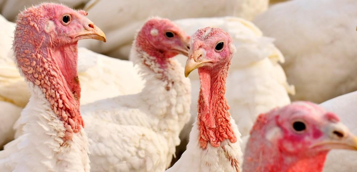 Estados Unidos: lote comercial de pavos presentó Influenza Aviar de alta patogenicidad