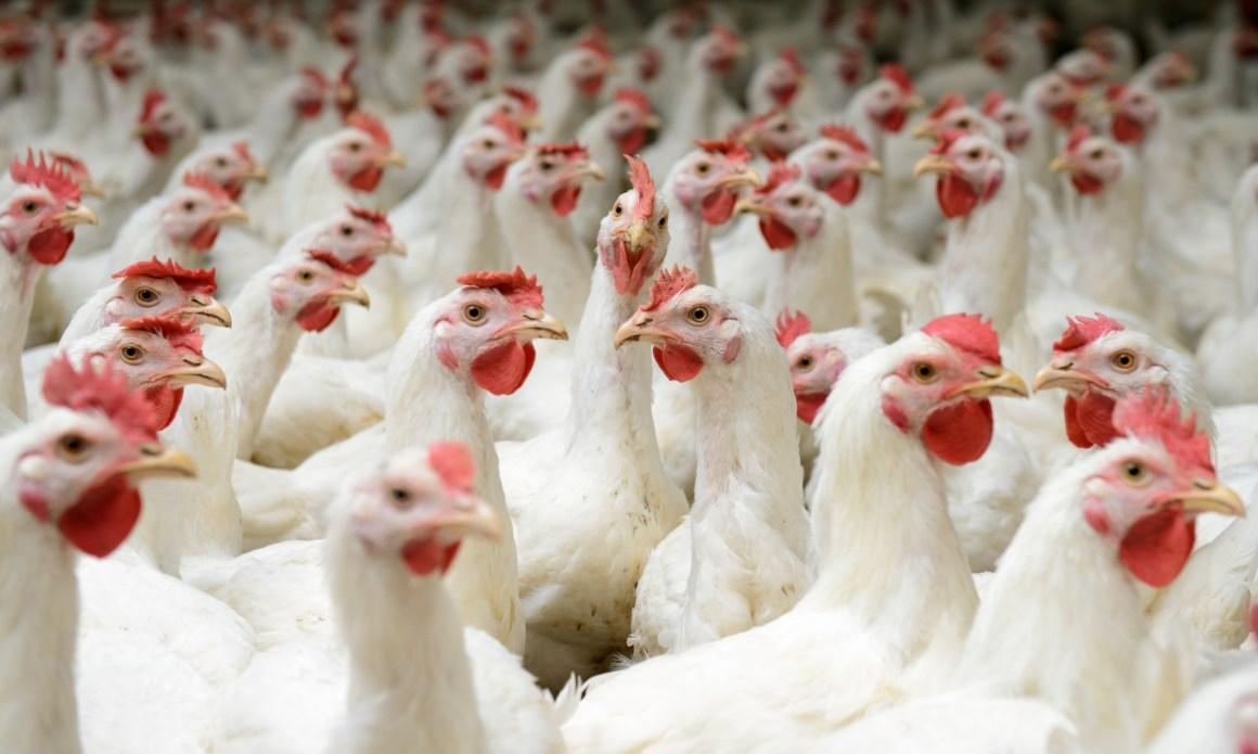 Venezuela: 24 mil kilos de pollo serán distribuidos a familias