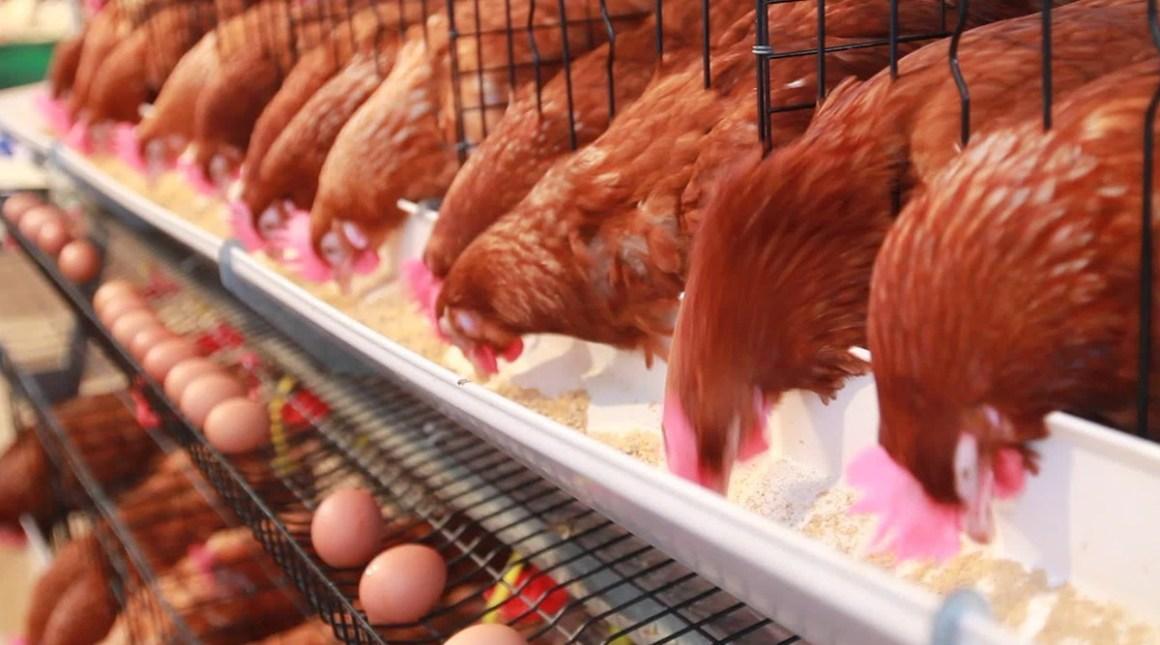 Prevención ante el estrés por frío en gallinas ponedoras