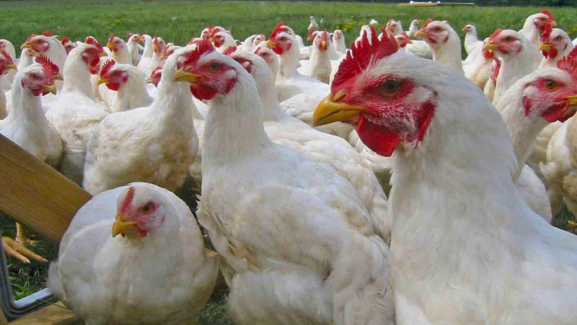 Minagri fiscaliza centros de faenamiento de aves en Apurímac