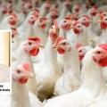 Nuevo Webinar de Aviagen Analiza Cómo Lograr Óptima Salud Intestinal