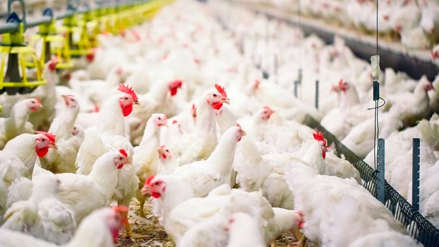 Importancia de las autovacunas o vacunas homólogas en el control de la Bronquitis Aviar