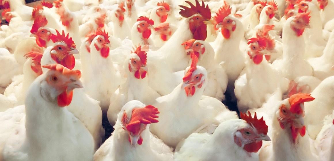 Empresas peruanas suben en ranking de principales productores avícolas sudamericanos de 2020