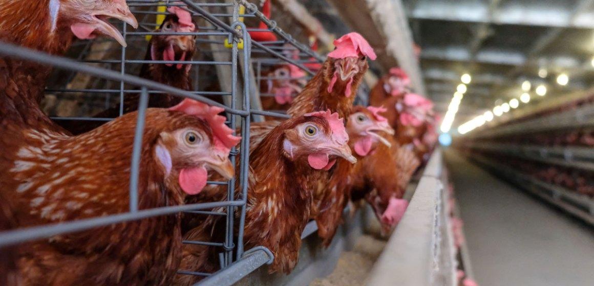 La avicultura contribuyó significativamente al crecimiento agrícola en 2020