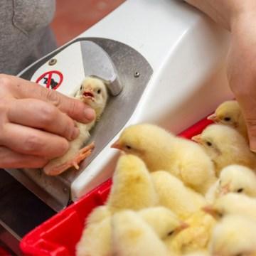 La eficiencia de la vacunación es clave en la producción avícola