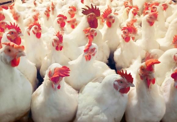 Industria avícola mundial superará en 3 fases la pandemia sustenta Rabobank