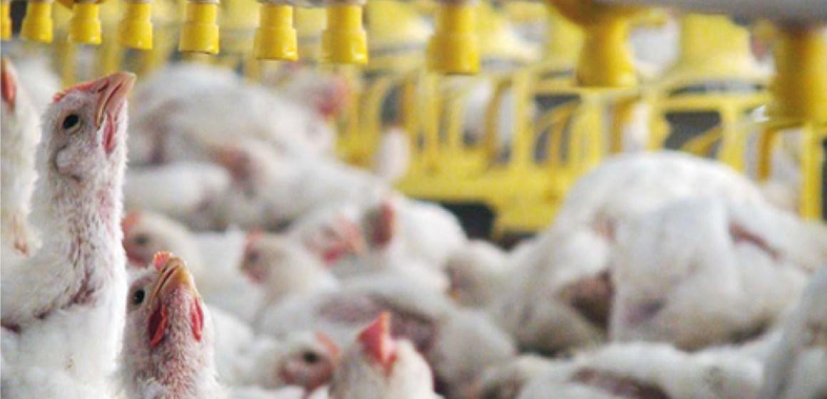 Estudio comparativo en la utilización de bebederos campana versus tipo tetina en pollos de carne (parte 1)